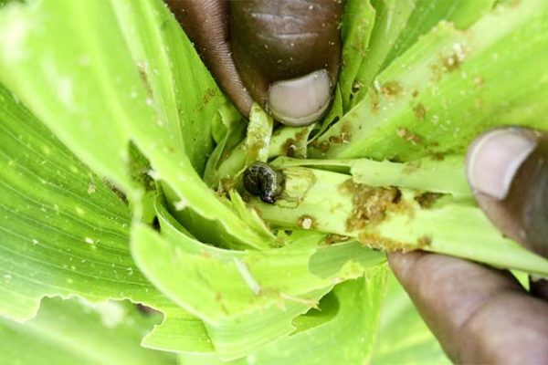 FAO Mobile App to support fight against armyworm in Africa